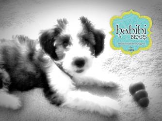 Meet Maggie: Standard Sable Bi-Color Habibi Bear