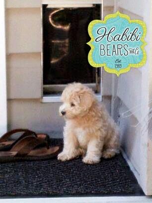 Meet Sadie: Mini Apricot Habibi Bear