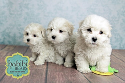 White and Champagne Parti Color pups