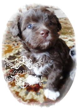 Chocolate Tuxedo puppy