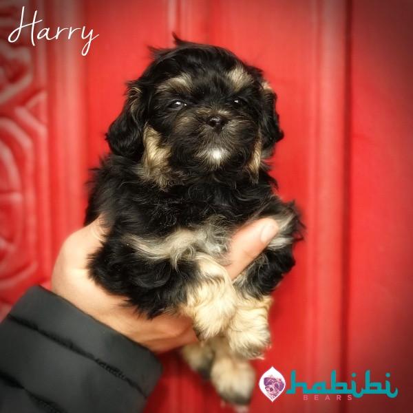 Harry-Boy-I'm Adopted