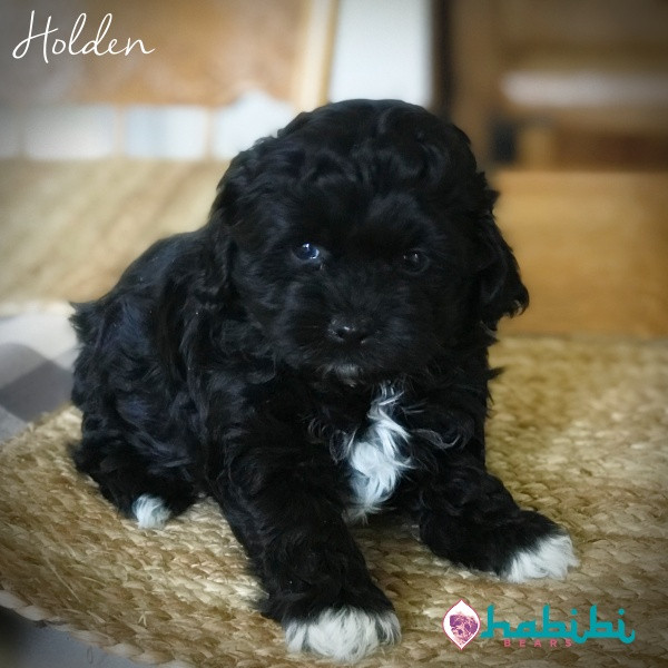 Habibi Bear Puppy