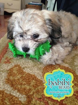 Meet Tucker: Mini Chocolate Sable Habibi Bear