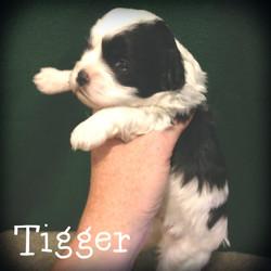 Tigger--Boy--Black and White Parti