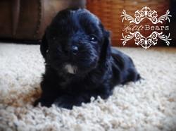Black Tuxedo puppy