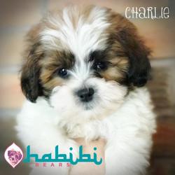 Charlie-Boy-$2100