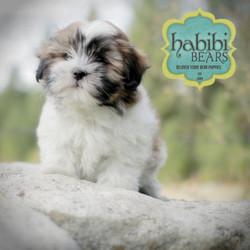 Sable Parti Color Puppy