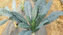 Toscano kale