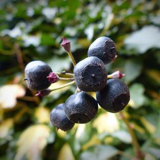 ivy- berry- pixababy roal free.jpg