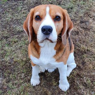 Gimli - Beagle