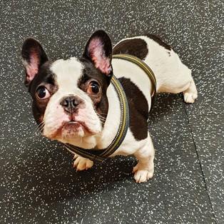 Tarmo - Ranskanbulldoggi