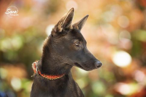 Mingan, Indian Dog