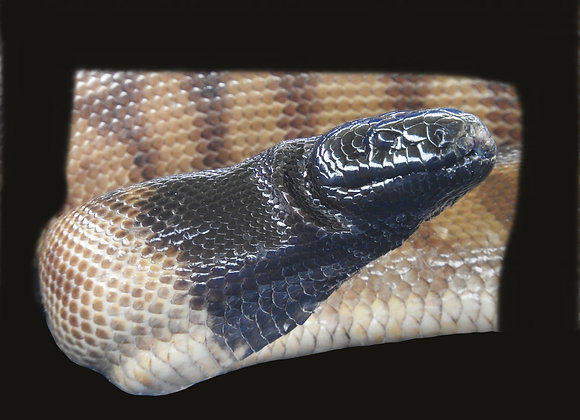 Snake Snags - Large
