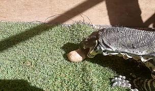 Lace Monitor eating Goanna Grub