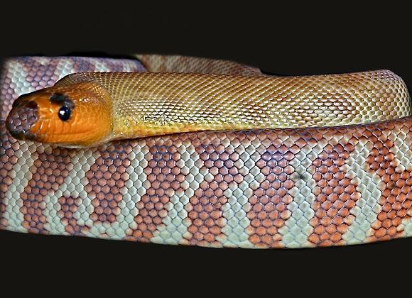 Snake Snags - Medium