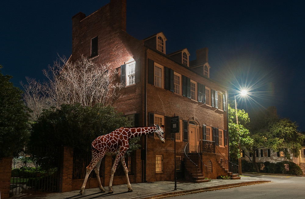 giraffe walking down the street