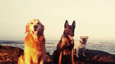 Les chiens coachs.jpg