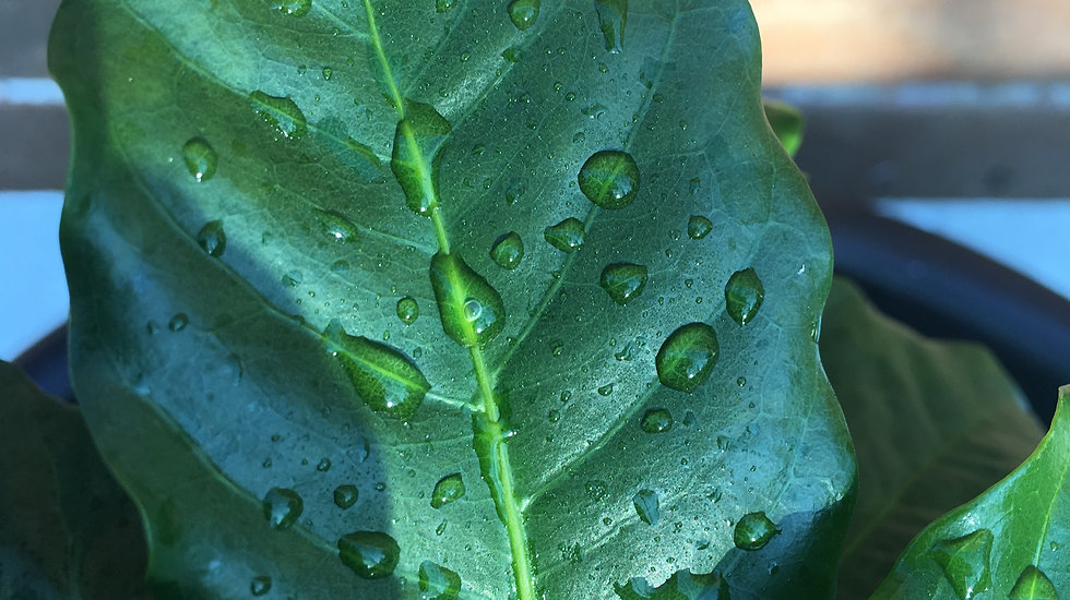 Eteaopia Coffee leaf with morning dew