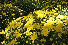 Yellow Mum Blooms