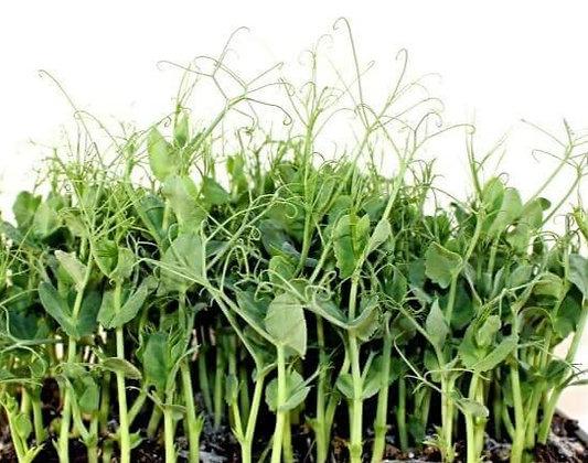 Dixie Lee Pea Plants