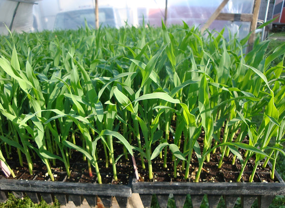 Silver Queen Corn Plants