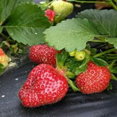 strawberry close up.jpg