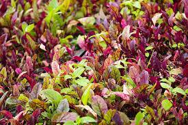 Beets Plants