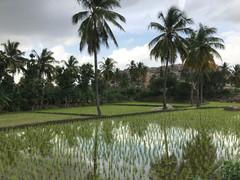 Rice's padies surrounding Hampi