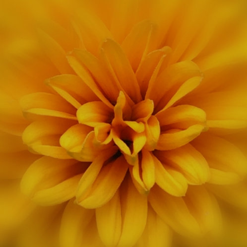 Dahlinova Yellow Dahlia