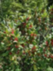 LCS 08 sheperdia canadensis IMG_20180714