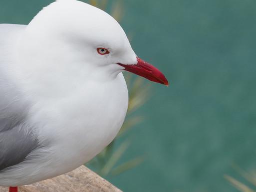 Seabird, Otago Peninsular