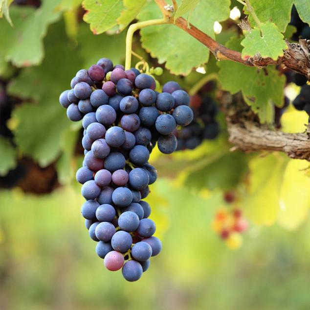 vineyard French Riviera