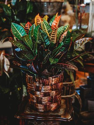 Croton - Large