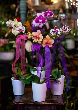 Potted Double Stem Orchids - Assorted Colors