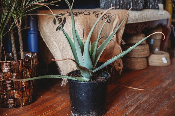 Aloe - Large