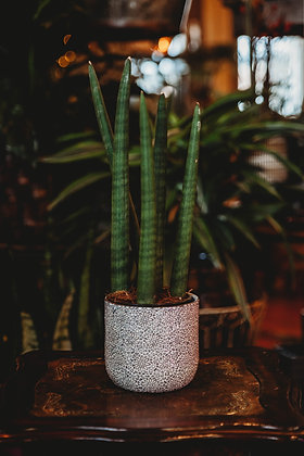 Cylindrical Snake Plant (Sansevieria) - Medium