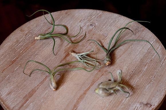 Small Air Plants