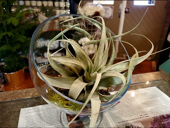 Large Air Plants (plant only)