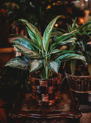 Chinese Evergreen - Medium