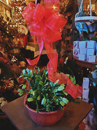 "8"" Hanging Christmas Cactus"