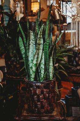 Snake Plant (Sansevieria) - Large