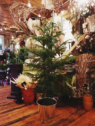 5' Norfolk Pine