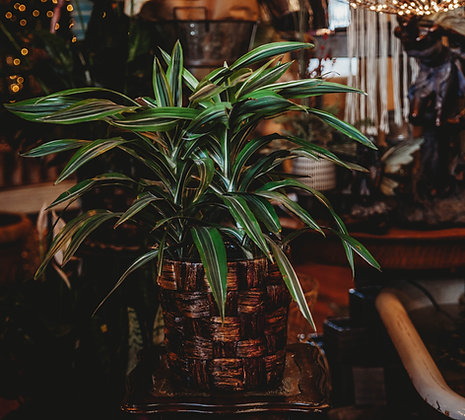 Striped Dracaena - Large
