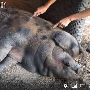 pig forking screenshot.jpg