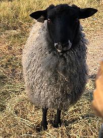 Gotland Ram fall 2019.JPG
