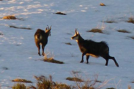 Fauna Alpina Verbano Cusio