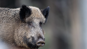 Weekly update: African swine fever detected in Saxony