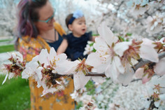 Family Session in the Almond Orchards
