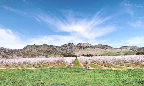 Almond Orchards in the Buttes