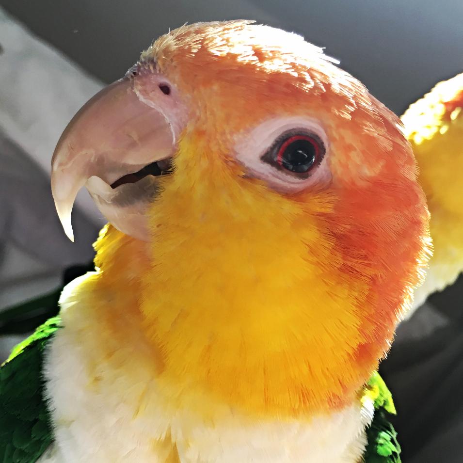 schnabel kürzen papagei